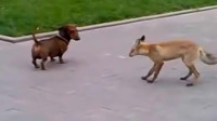 狗狗出去溜达,偶遇狐狸,双方都试探着接近对方,可有意思了