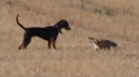 狗狗偶遇一只山林野货,撒腿就追,当对方停下来,却畏缩不前,不敢靠近