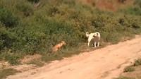 狗狗碰到一只山林野货,本来想一举拿下,不曾想对方那么生猛