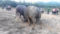 两头大水牛一身蛮劲儿,斗得难解难分,沙尘飞扬