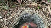 鸟宝宝饿了