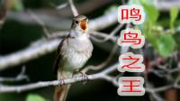 这就是传说中的夜莺,坐在黑暗中唱歌,叫声真是太好听啦!