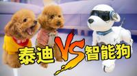 女主人开箱智能狗,3只泰迪十分不服:敢和我挑战吗?