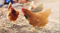 农村散养鸡的震撼场面