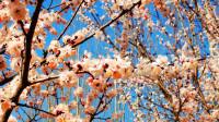 化隆群科杏花开(2)-歌曲:等你在花开的春天