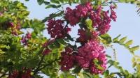 樱花朵朵争开放,暮春三月晴空里,万里无云多明净。快来呀,快来呀,大家去看花!