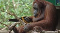 动物园出现无毛大猩猩,熟练的使用工具,难道进化成人了?