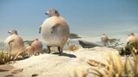 第三集 圆滚滚的动物世界-狐獴篇