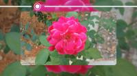 音乐视频05-自然美景-红玫瑰 纯音乐 dj歌曲 网络红歌 田园风景 风景优美的乡村美景