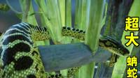 【游戏真好玩】动物园之星03:这叫黄水蚺,体长有3米,轻松捕猎小型动物