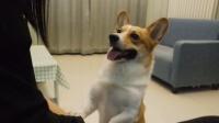 狗狗把球弄进沙发拿不到,找主人帮忙着急得差点说出人话,成精了
