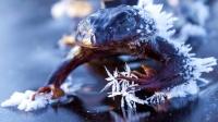 7种适应严酷环境的动物(三):冬天来临,身体会结冰的木蛙