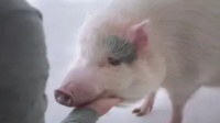小伙进入一家餐厅,点了一道猪肋排,却被要求自己去猪身上割!