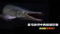 亚马逊河中的超级巨兽,被称为水中大力神!食人鱼只能当饵料