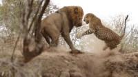 当花豹遇到狮子,吓得仓皇而逃,狮子:我也没咋滴它呀