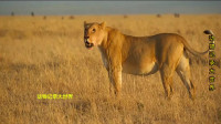 雄狮没有照顾好幼崽, 被母狮揍逃到树上, 又被马蜂叮狼狈不堪