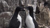 每对海雀只有一个后代,海雀爸爸陪同雏鸟感受飞翔 狂野地球 20210119