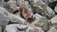 狩猎时机已到!北极狐抓准时机获得猎物 狂野地球 20210119