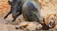 这是我见过最勇敢的疣猪!狮子被打得屁滚尿流,镜头记录全过程