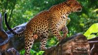 大象超级蛮横,花豹不得不放弃到嘴的兔子,逃往树上保命