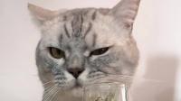用猫薄荷给自己洗澡会发生什么?反正猫咪是挺上头的