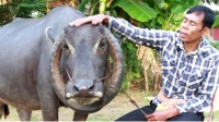 印度大叔家的牛越长越不对劲,牛角长成乾坤圈,村民认为是神牛