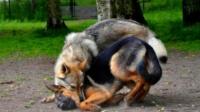 野狼偷羊遇到牧羊犬,结果会发生什么呢?