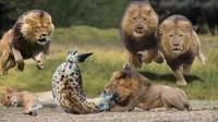 鬣狗咬住母狮的鼻子,雄狮脾气上来后,6秒后鬣狗瞬间老实了!