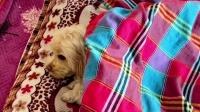 这么聪明的狗狗,换做是你,你会让它上床睡觉吗?