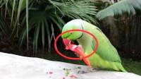 老外给鹦鹉吃辣椒,下一秒鹦鹉气的直接骂人了,全程高能!