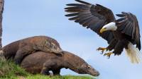 老鹰误将巨蜥当猎物,一个猛冲!谁料下一秒惨遭反杀!