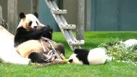 熊猫:儿啊,你咬不动这么大竹笋的!