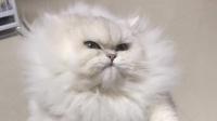 我觉得,你家猫咪去给鳌拜当替身,完全没有问题