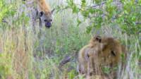 动物世界:看着雄狮啃骨头的鬣狗