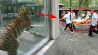 """为防止老虎逃跑,动物园上演一场""""杀鸡儆猴"""""""