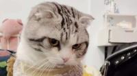 尴尬!猫咪装瘸被主人发现后,小爪子瞬间无处安放