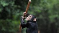 黑猩猩被围殴,同伴抄起棍子就冲了上去,少林棍法出神入化!