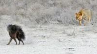 狮子捕杀鬣狗的瞬间,鬣狗还没反应过来就倒下了