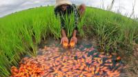 越南小伙发现稻田有动静,扒开一看,直呼赚大发了!
