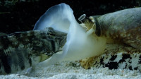 """世上最毒的""""蜗牛"""",捕食悄无声息,毒液能毒死一名成人!"""
