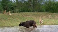 狮子追捕水牛,水牛机智跳入水中,更可怕的事情发生了!