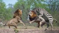 狮子捕杀斑马,不料斑马求生欲爆发
