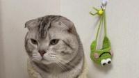 主人怎么教猫咪按铃,它都学不会,这猫还有救吗?