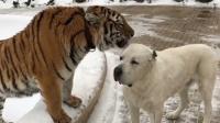 狗狗去看望一起长大的老虎:嘿嘿,敢动吗?