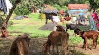 印度又一动物泛滥成灾,连政府都束手无策