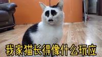 我很好奇,猫咪长得这么与众不同,它父亲到底长啥样?
