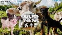 【小握解说】猪狗牛春节大闹牧场《松景:奶牛篇》第2期