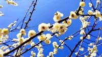梅花飘香的地方-海湾梅园。