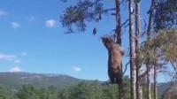 干饭熊已上线,多高的树都愿意爬