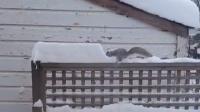 松鼠的沙雕日常,玩雪玩上瘾了